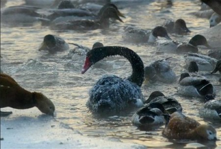 2 black swan cold spell
