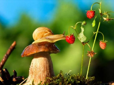 Snail mushroom strawberry