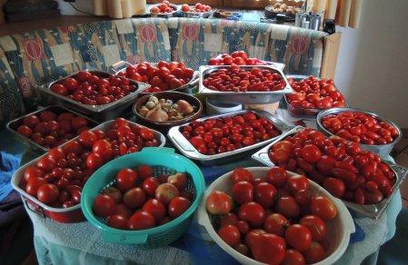 tomato harvest DSCN0861