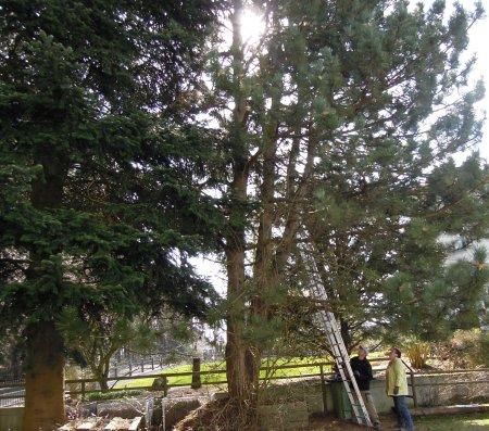 pine tree cut DSCN3021