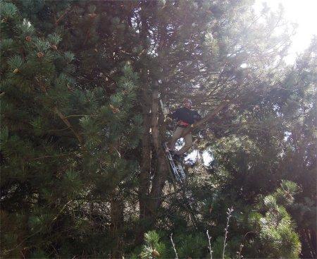 pine tree cut DSCN3027