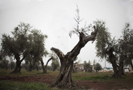 Syrian trees 2