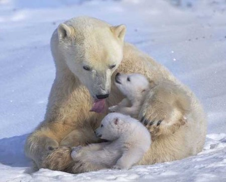 Polar Bear mother 3