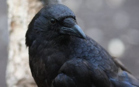 crow looking