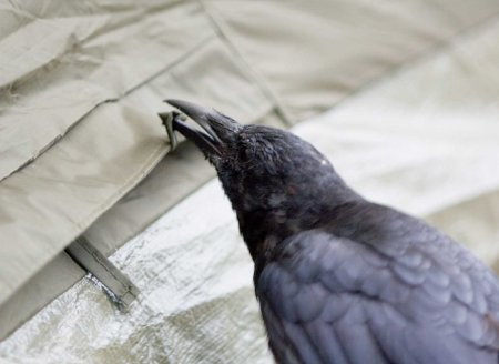 crow opening tent