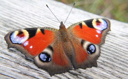 peacock butterfly 6