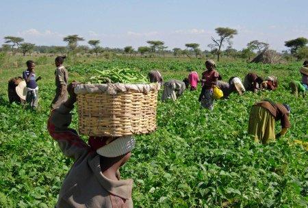 women harvesting 14