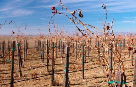 drought vine 1