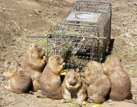 Prairie Dog Trap
