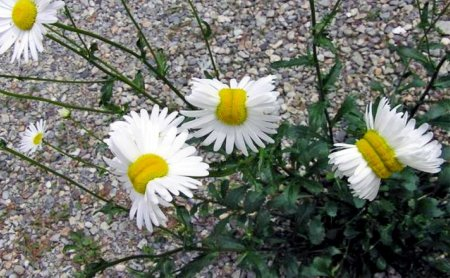mutated daisies fukushima