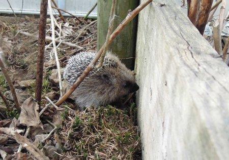 hedgehog garden DSCN4540