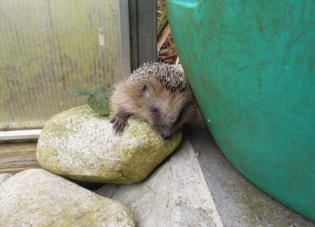 hedgehog rain barrel DSCN4549