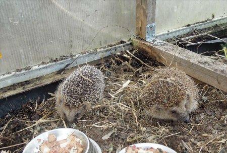 hedgehogs greenhouse foodcups DSCN4530
