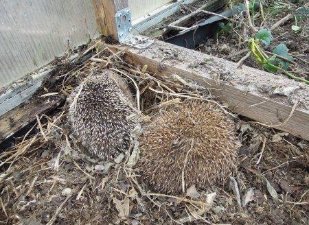 hedgehogs greenhouse twigs 4 DSCN4525