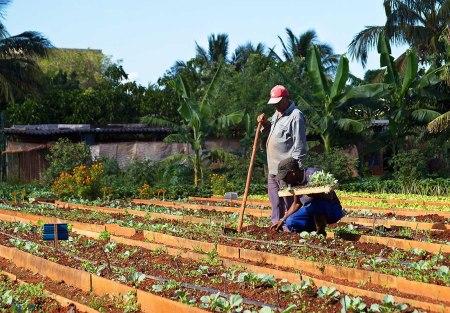 organic farming Cuba 14